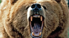 Grizzly Wallpaper Download Free