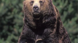 Grizzly Wallpaper For IPhone