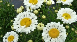 Leucanthemum Desktop Wallpaper For PC