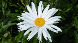 Leucanthemum Photo