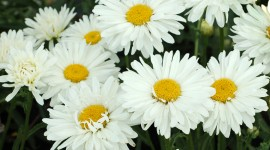 Leucanthemum Photo Free