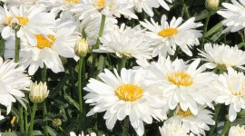 Leucanthemum Wallpaper