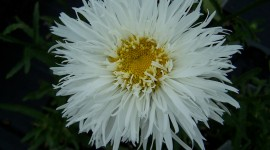 Leucanthemum Wallpaper Download
