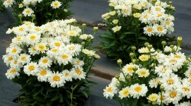 Leucanthemum Wallpaper For Android