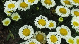Leucanthemum Wallpaper For Android#1