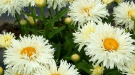 Leucanthemum Wallpaper For Desktop