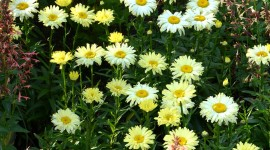 Leucanthemum Wallpaper For IPhone#1