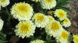 Leucanthemum Wallpaper For Mobile