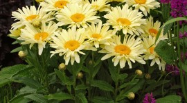 Leucanthemum Wallpaper For Mobile#1