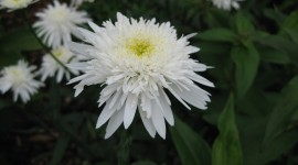 Leucanthemum Wallpaper For PC
