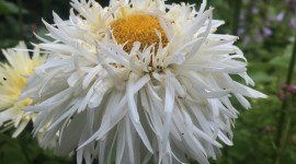 Leucanthemum Wallpaper Free