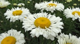 Leucanthemum Wallpaper Full HD
