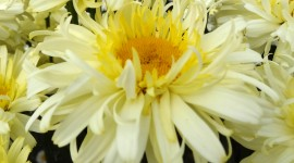 Leucanthemum Wallpaper Gallery
