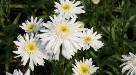 Leucanthemum Wallpaper HQ