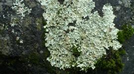 Lichen Wallpaper For PC