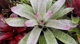Neoregelia Wallpaper For PC