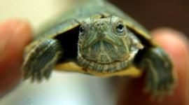 Newborn Turtles Desktop Wallpaper
