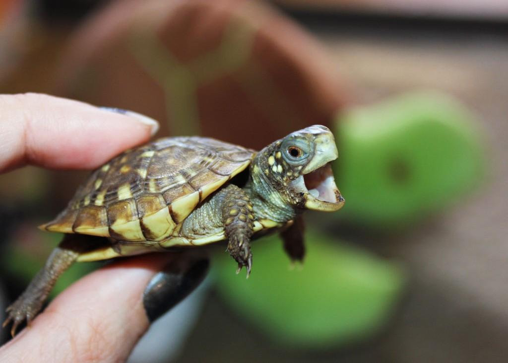 Newborn Turtles wallpapers HD