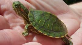 Newborn Turtles Desktop Wallpaper HD