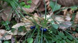 Ophiopogon Photo Free