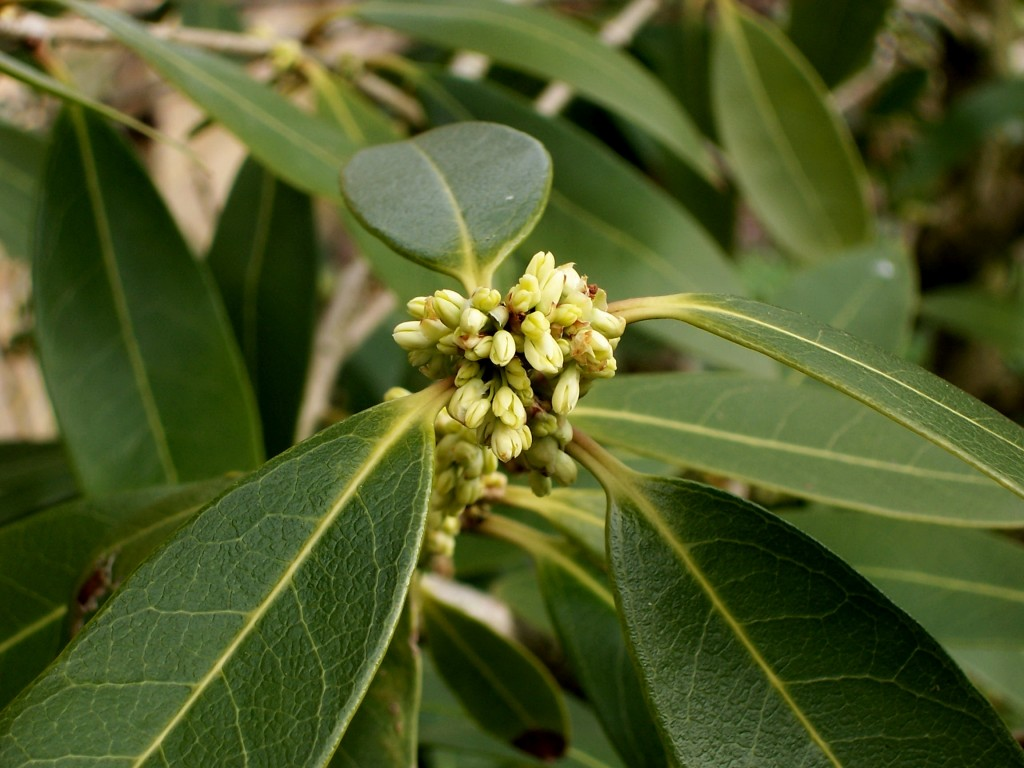 Osmanthus wallpapers HD