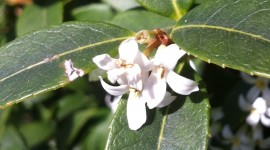 Osmanthus Wallpaper For IPhone