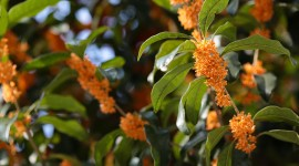 Osmanthus Wallpaper For PC