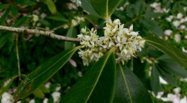 Osmanthus Wallpaper Gallery