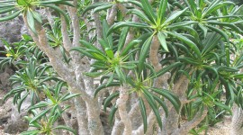 Pachypodium Wallpaper For Android