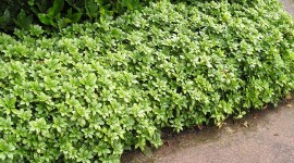 Pachysandra Photo Download