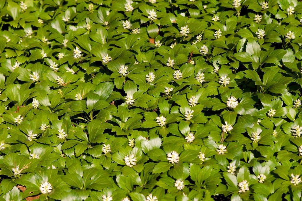Pachysandra wallpapers HD