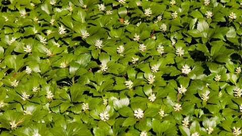 Pachysandra wallpapers high quality