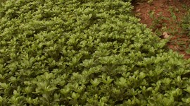 Pachysandra Wallpaper For IPhone