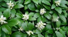 Pachysandra Wallpaper For PC