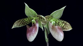 Paphiopedilum Desktop Wallpaper