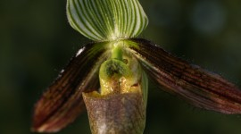 Paphiopedilum Wallpaper For Desktop