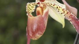 Paphiopedilum Wallpaper For IPhone Download
