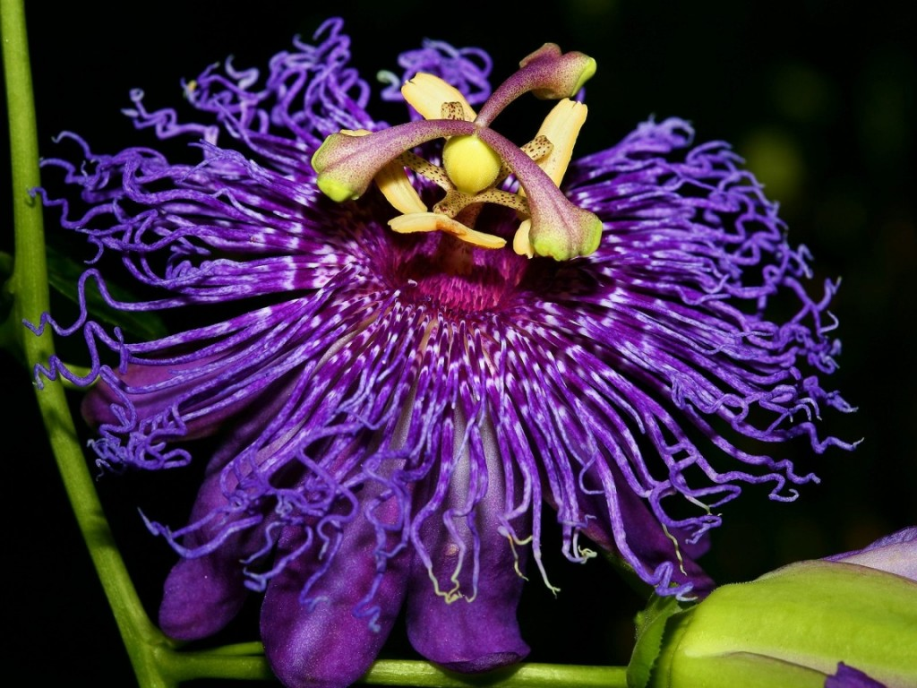 Passionflower wallpapers HD