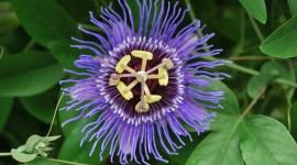 Passionflower Photo Free