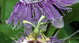 Passionflower Wallpaper For IPhone