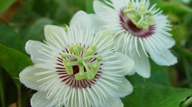 Passionflower Wallpaper For PC
