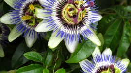 Passionflower Wallpaper Free