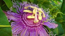 Passionflower Wallpaper Gallery