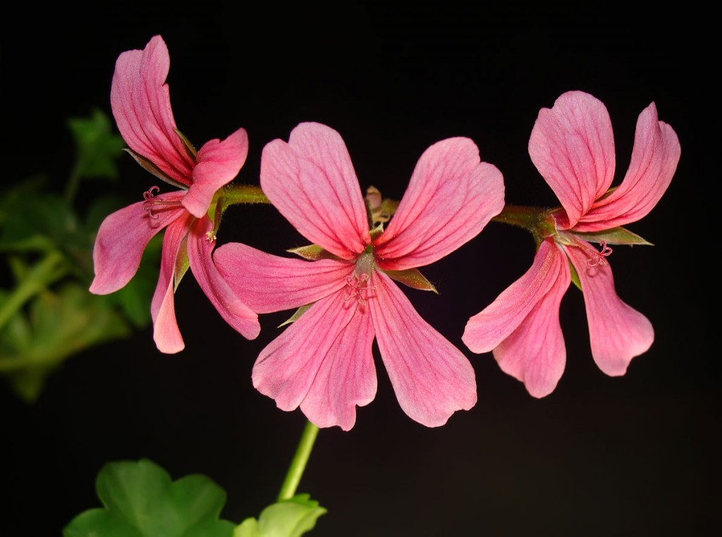 Pelargonium wallpapers HD