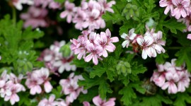 Pelargonium Photo Free