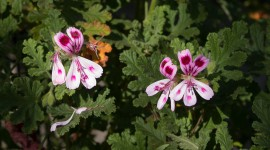 Pelargonium Photo Free#1