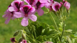 Pelargonium Wallpaper For IPhone Free