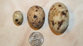 Quail Eggs Wallpaper For IPhone Free