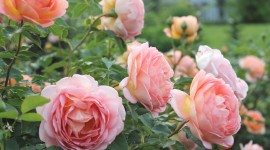 Rose Bush Wallpaper Download