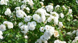 Rose Bush Wallpaper Download Free